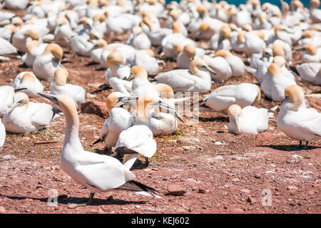 Closeup of white Gannet birds colony nesting on cliff on Bonaventure Island in Perce, Quebec, Canada by Gaspesie, - Stock Photo