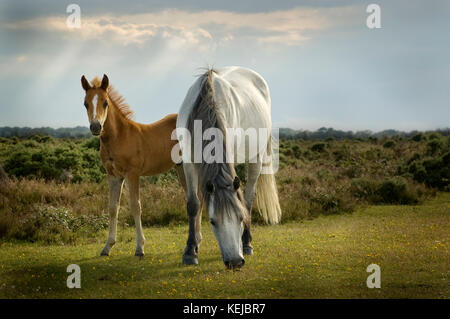 Mare and Foal in the New Forest - Stock Photo