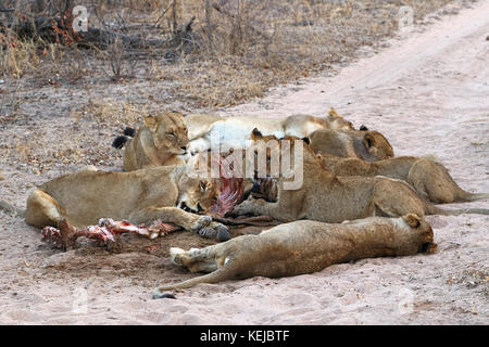 Pack of South African lions eating at a killed zebra in the Kruger National Park, South Africa - Stock Photo