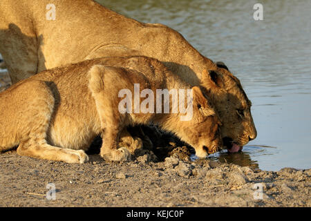 Group of lions drinking in the Kruger National Park, South Africa - Stock Photo