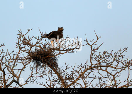 Black-breasted snake eagle (Circaetus gallicus) perched on a tree, South Africa - Stock Photo