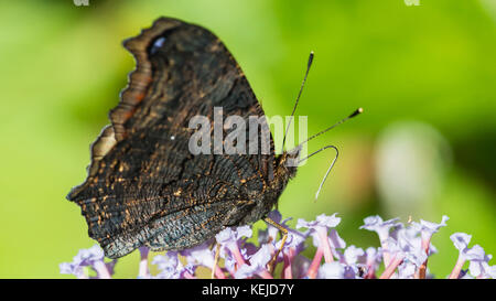 A macro shot of a peacock butterfly collecting pollen from a butterfly bush. - Stock Photo