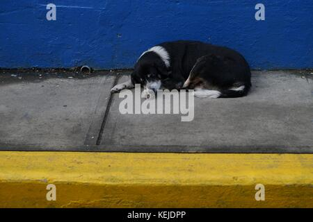 Stray dog sleeping on the narrow concrete sidewalk with yellow border and bright blue wall on the background - Stock Photo