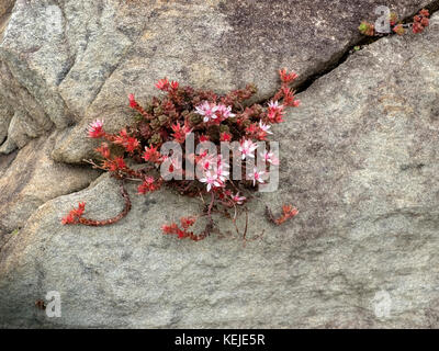 Pink flowering plant growing on the cliff face on the Mizen, Ireland - Stock Photo