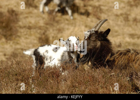 Wild Goats  in the Galloway Forest Park, - Stock Photo