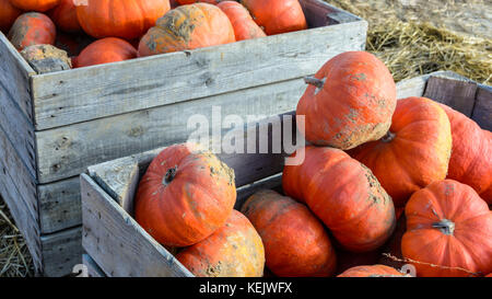 Dozens of freshly picked, unwashed pumpkins stacked outdoors in wooden boxes in the sunset light with straw on the - Stock Photo
