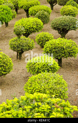 View of a series of green dwarf trees in the garden during spring and summer - Stock Photo