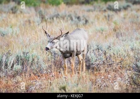 Profile view of a single antlered mule deer buck. - Stock Photo