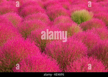 beautiful kochia are changing color in autumn season at  Hitachi Seaside Park, Hitachinaka, Ibaraki, Japan. - Stock Photo