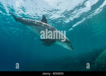 Indian Ocean Bottlenose Dolphin , Tursiops aduncus, Marsa Alam, Red Sea, Egypt - Stock Photo