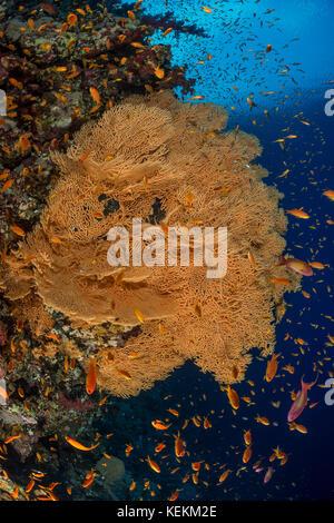 Giant Sea Fan, Annella mollis, Marsa Alam, Red Sea, Egypt - Stock Photo