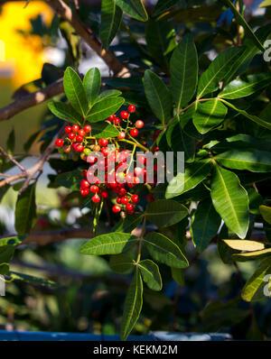 Fruit  of  ripe Zanthoxylum piperitum,  Japanese pepper,  pricklyash, or sansh , red in autumn has  pungent oils - Stock Photo