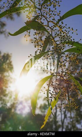 Bright sun rays shining through Australian zigzag wattle branches of  Acacia macradenia in a silhouette bush scene - Stock Photo