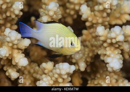 Half Moon Damselfish, Dascyllus marginatus, Marsa Alam, Red Sea, Egypt - Stock Photo