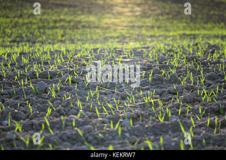 Agricultural field on which grow green shoots of wheat in sunset sunlight. Autumn season. Photo taken closeup. - Stock Photo
