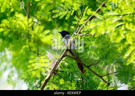 Paradise flycatcher. Kustia, Bangladesh - Stock Photo