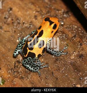 South American Mimic poison frog (Ranitomeya imitator varadero or jeberos, formerly  Dendrobates imitator), native - Stock Photo