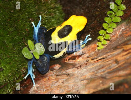 South American Dyeing poison dart frog or Tinc poison frog (Dendrobates tinctorius, Rana tinctoria), native to Guyana, - Stock Photo