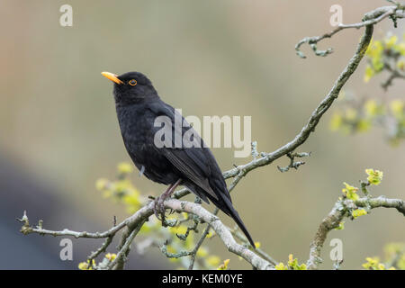 A male european Blackbird (turdus merula) singing in a tree with yellow blossom on a clear, sunny day in Spring - Stock Photo