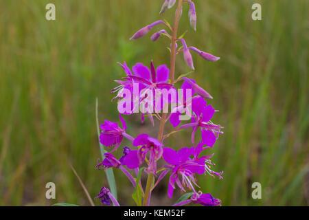 Chamaenerion angustifolium purple flowers. Fireweed plant, medical tea - Stock Photo