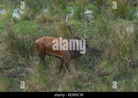 Flock of Red Deers ( Cervus elaphus) in mating-season where the strongest stag is defending his right to lead the - Stock Photo