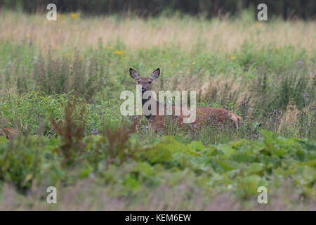 Hind ( Cervus elaphus) with young deer are feeding in a fallow field - Stock Photo
