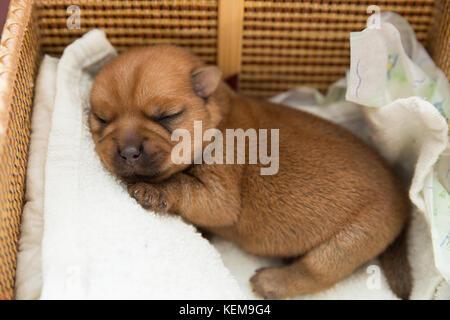 Newborn puppy is sleeping in a wicker basket - Stock Photo