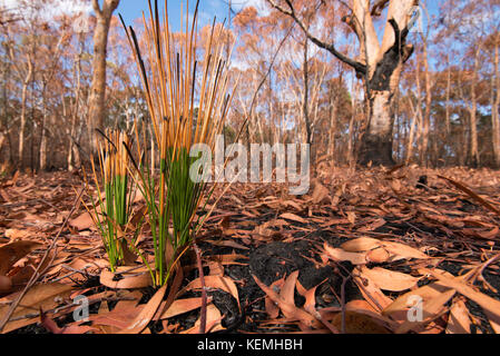 small plants quickly regrowing after a bush fire in Sydney - Stock Photo