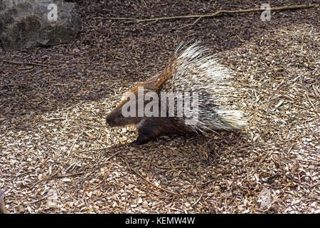 Small porcupine on the ground with sawdust. - Stock Photo