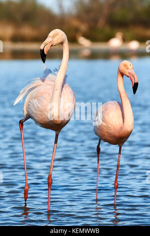 Beautiful pair of flamingos walking in shallow water - Stock Photo