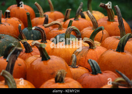 Close up  photo of over 20 large orange pumpkins with curved green stems on display for Halloween or Thanksgiving - Stock Photo
