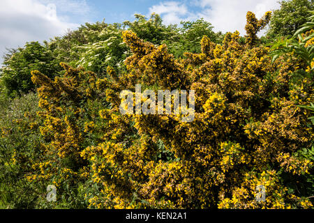 Gorse in Bloom. Study of an explosion of yellow flowers in Hastings Country Park - Fire Hills. Fairlight. - Stock Photo