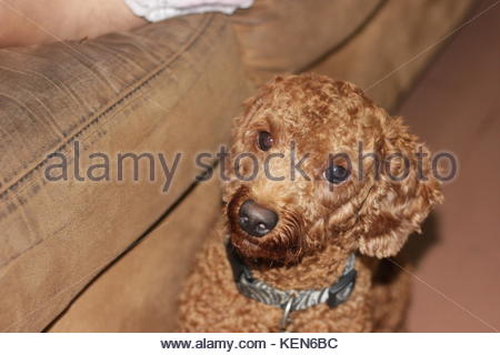 The Face Puppies Poodle - Stock Photo