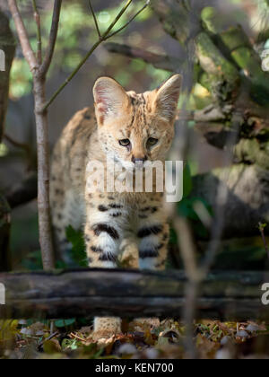 Close young serval cat (Felis serval) - Stock Photo
