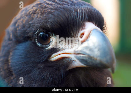 head of a juvenile striated caracara falcon bird in close up view - Stock Photo