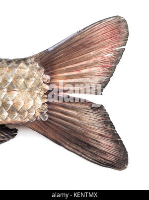 raw tail of crucian carp close-up on white background - Stock Photo