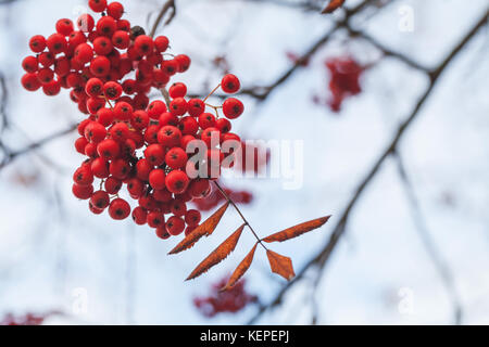 European rowan fruits, macro photo of red berries in autumn with selective focus - Stock Photo