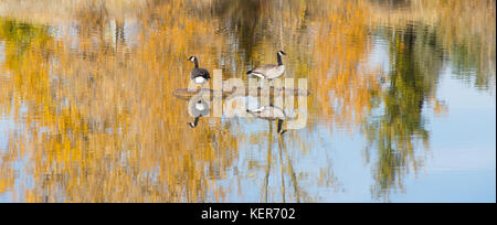 Two Canadian geese standing on a manmade island in a pond. Trees with gold and green leaves are seen in the water's - Stock Photo