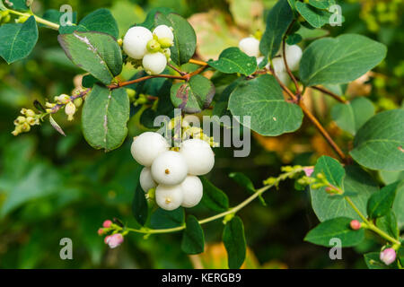 Common Snowberry (Symphoricarpos albus) plant with white berries growing in late Summer in West Sussex, England, - Stock Photo