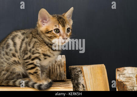 Bengali striped kitten sits on pieces of birch wood, on a dark background - Stock Photo