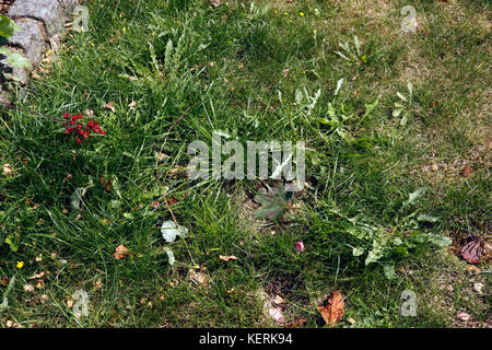 SUMMER LAWN WEEDS - Stock Photo