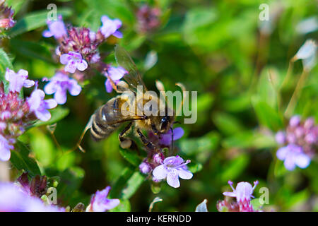 The bee sits on a purple thyme flower. Close-up - Stock Photo