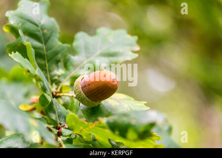 Close up of an acorn on a branch of an oak tree in a forest in autumn - Stock Photo
