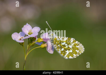 Orange Tip Butterfly; Anthocharis cardamines Single; Female Roosting on Cuckoo Flower Lancashire; UK - Stock Photo