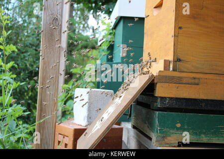 Flying  honey bees in front of their hive - Stock Photo
