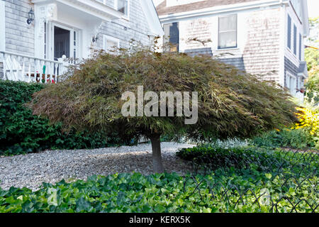 Japanese maple (Acer palmatum), a small deciduous tree growing close to the ground, has a dome-like appearance in - Stock Photo