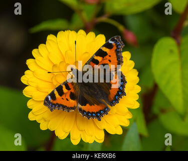 cut out image of a small tortoiseshell butterfly Aglais urticae on a calendula flower - Stock Photo
