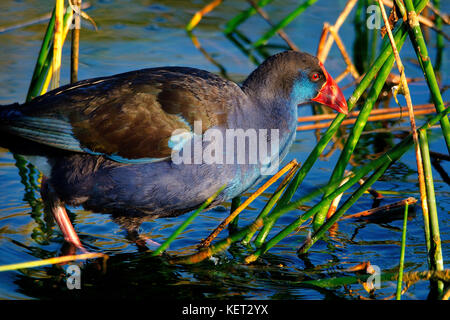 Purple Swamp Hen (Porphyrio porphyrio) foraging in reeds on shore of Lake Richmond, Western Australia - Stock Photo
