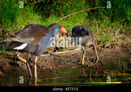 Purple Swamp Hen (Porphyrio porphyrio) feeding chick on shore of Lake Richmond, Western Australia - Stock Photo