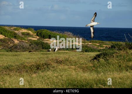 Albatross Nesting Ground near Ka'ena Point, Oahu Hawaii - Stock Photo